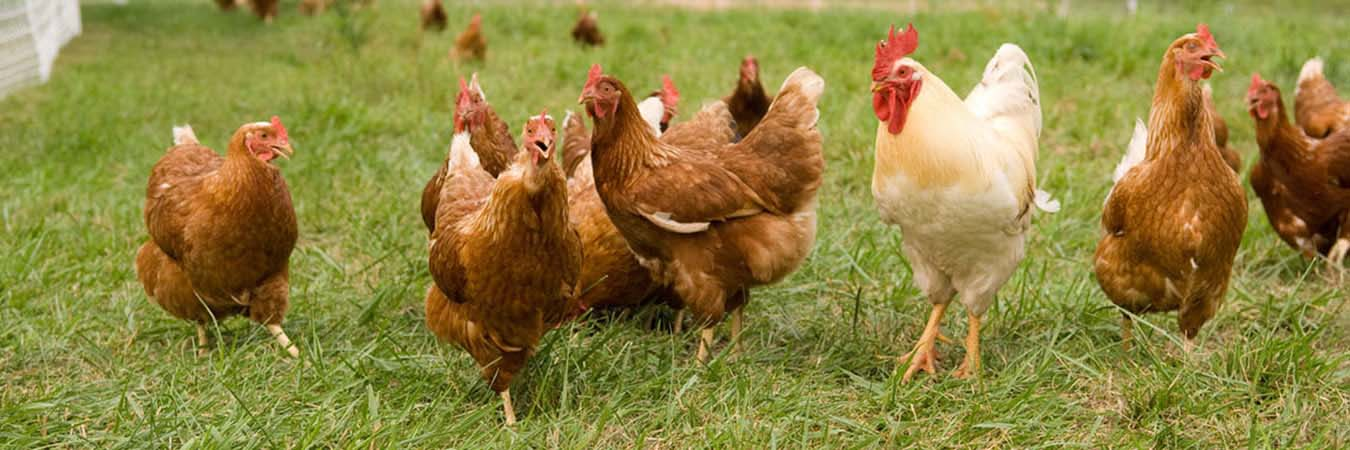 The Alrewas Show Poultry page banner image